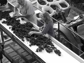 Selezione dei grappoli d'uva nella lavorazione della Fattoria di Montechiari