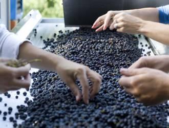 Selezione delle uve Fattoria di Montechiari